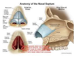 nasal-septum-anatomy
